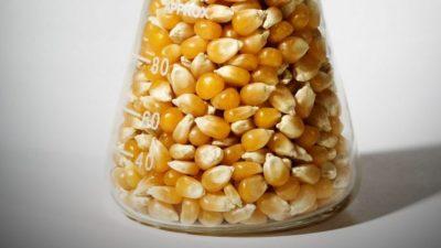 Maíz OGM